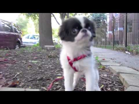 Study of a Japanese Chin Puppy Taking a Walk