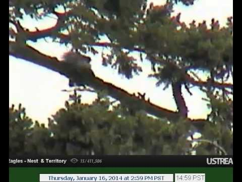 January 16 15.00 pm Mum and dad mate on Peters tree