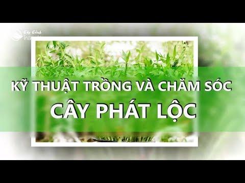 Kỹ thuật trồng và chăm sóc cây Phát lộc
