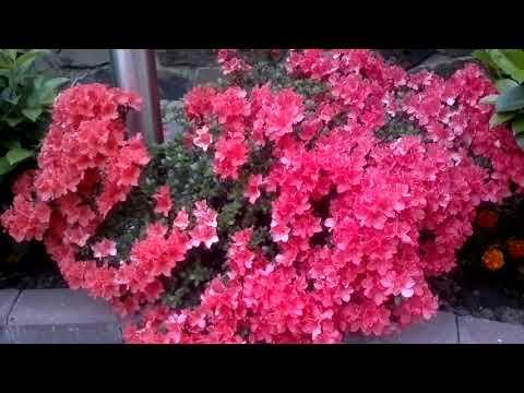 Азалия садовая.Весеннее цветение.
