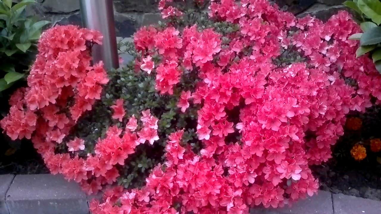 Азалия садовая.Весеннее цветение. - YouTube