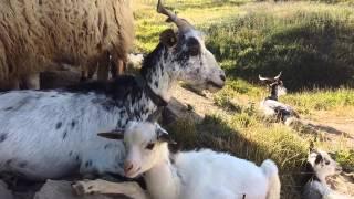 Chèvre et ses chevreaux  Semnoz - Haute Savoie  Ét