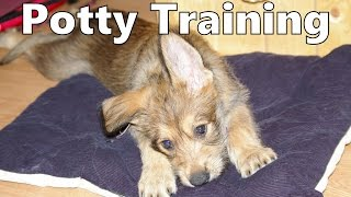 How To Potty Train A Berger Picard Puppy - Berger Picard House Training - Berger Picard Puppies