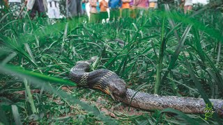 King Cobra the Snake Eater! | Rescue | King Cobra | Khaudada | Pokhara | Rohit Giri |