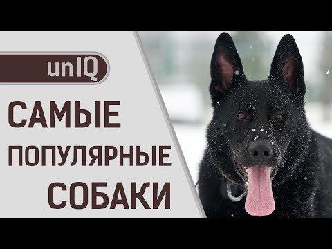 Вопрос: Что из себя представляет порода собак Κсолоитцкуинтли?