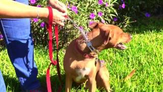 Choke Collar Basic Training Dog Obedience