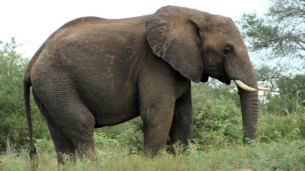 Slow Motion African Elephant Eating Grass, Kruger - Youtube-9408