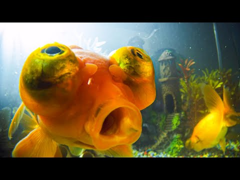 How Do Goldfish Flirt? | Pets: Wild At Heart | BBC Earth