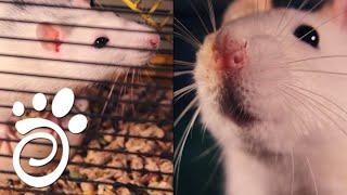 Все О Домашних Животных: Что Успеет Сделать Крыса