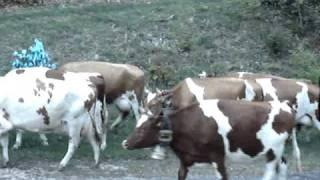 La monte des Vaches, Biere, Suisse