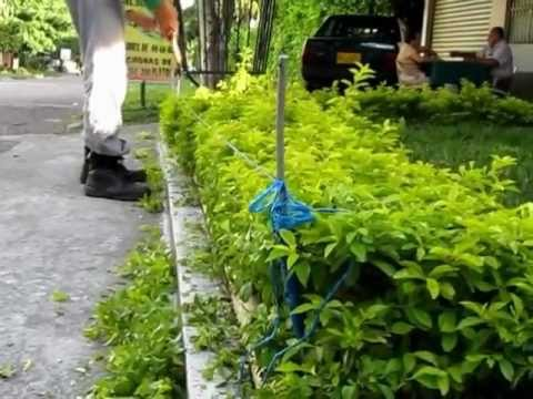 Procedimiento tecnico para corte o poda de duranta verde for Como podar un ciruelo de jardin