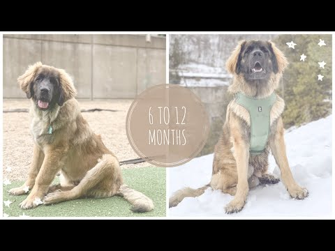 LARRY 6 TO 12 MONTHS  LARRY THE LEONBERGER