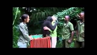 Chimpanzé demonstra carinho ao voltar para selva