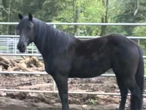 Black Quarter Horse Mare - YouTube  Black Quarter H...