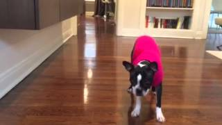 Adventures of Tippi Boston Terrier ifetch Training Tips