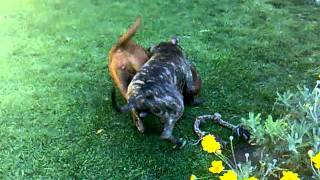 Pitbulls Play Fighting In South Africa