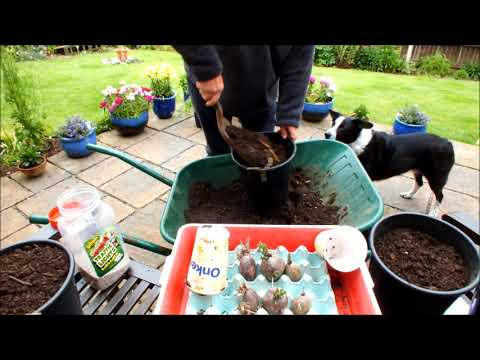 HGV How to grow Organic Christmas potatoes in a Bucket start to finish. Grow Vegetables
