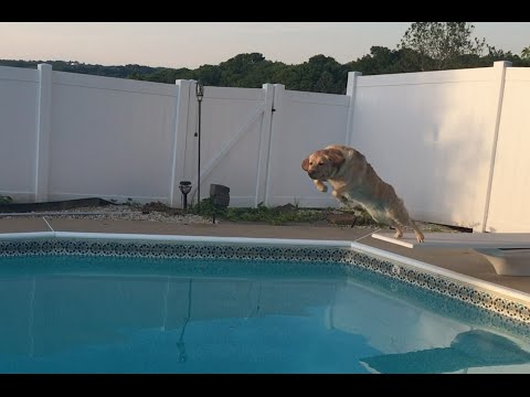 My dog jumping from the diving board to the pool on command!