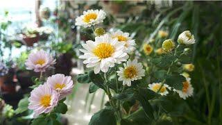 베란다 정원의 가을 꽃Autumn Flowers in …