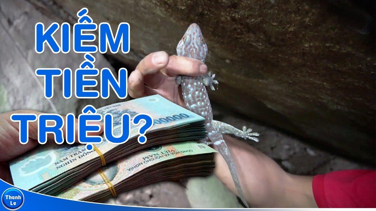 Cận cảnh nghề bắt tắc kè bông kiếm tiền triệu mỗi ngày, có thật như lời đồn? | How to catch a gecko