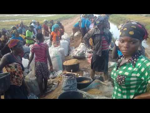 Nigeria Rice - hand harvesting rice fields