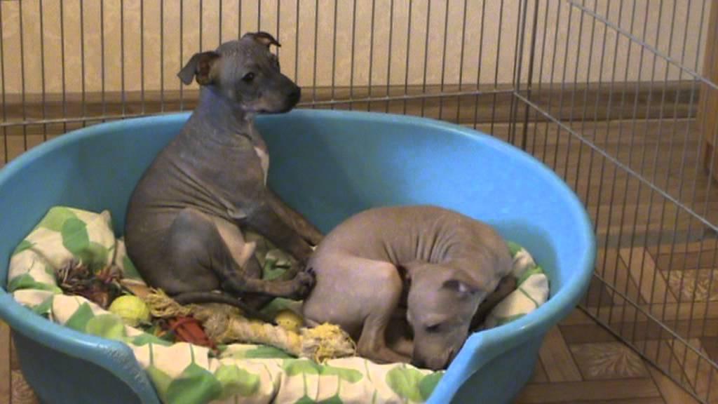 American hairless terrier / Американский голый терьер