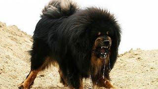 Dünyanın En Büyük Köpek Cinsleri