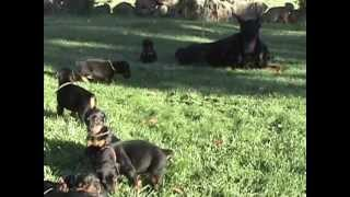 Sunnybrook Large Full European Doberman Puppies For Sale