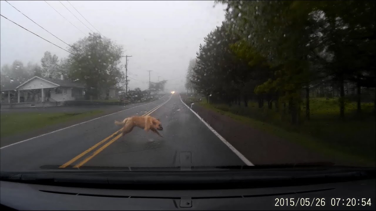 Large Dog Gets Hit By A Car Graphic Video Youtube