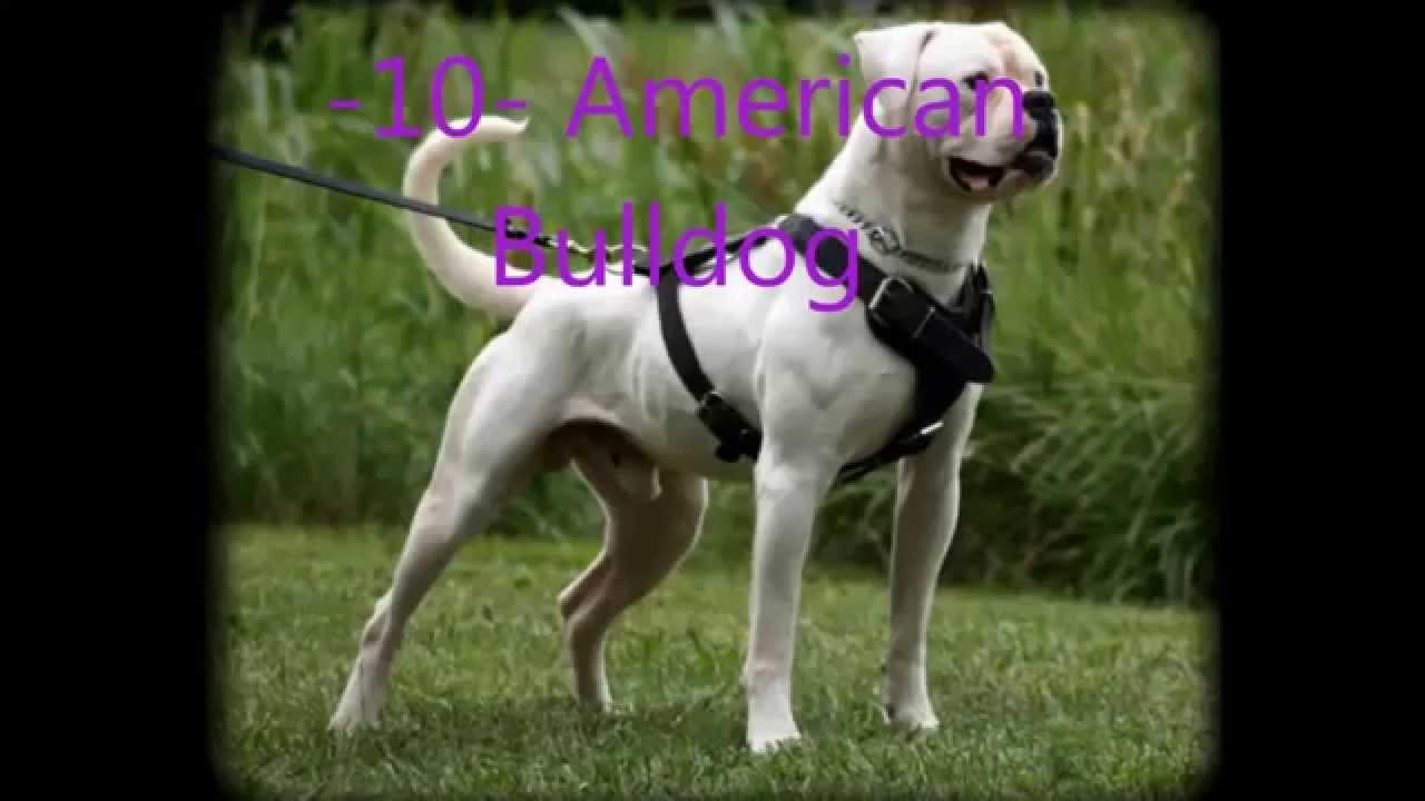 Dünyada yasaklanan 5 köpek ırkı