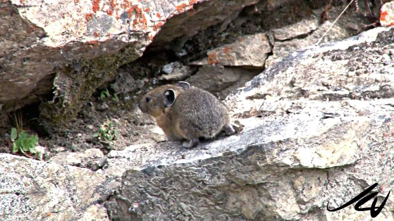 Pikas Are Disappearing from California's Sierra Nevada Mountains