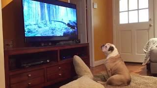 Bulldog Tries To Protect Leonardo DiCaprio From Bear Attack! thumbnail