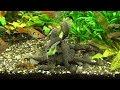 Welse fressen | hungrige Antennenwelse ancistrus dolichopterus