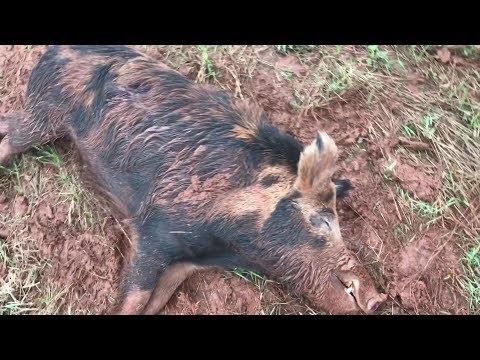Hog Hunt *HUGE BOAR* (spot & Stalk) Oklahoma