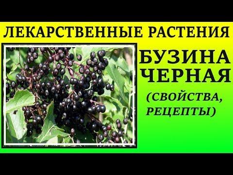 Бузина черная как лекарственное растение . Лечебные свойства, рецепты применения