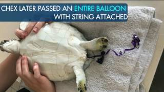 Sea Turtle Rescued After Eating Balloon: Chex's Story