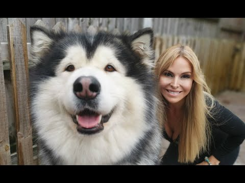 GIANT ALASKAN MALAMUTE DOGS - GROOMING AND CARE