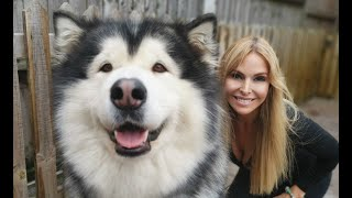 GIANT ALASKAN MALAMUTE DOGS  GROOMING AND CARE