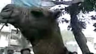 camel qurbani in bufferzone 2011(2)