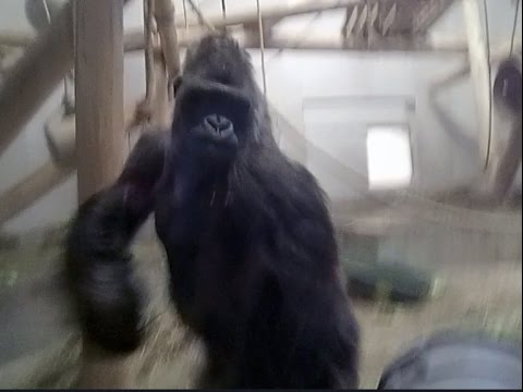 Angry Silverback Gorilla attacks glass! - YouTube - photo#24