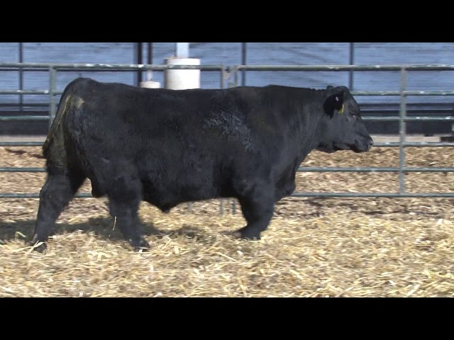 Schiefelbein Angus Farms Lot 234