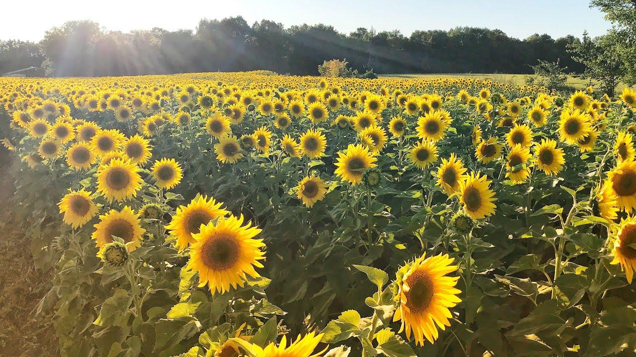 RỤNG TIM với sắc vàng cánh đồng hoa Hướng Dương   Cảnh đẹp đồng quê tại Minnesota – MỸ