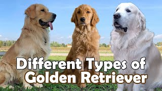 Different Types of Golden Retriever Dog | Dog Breeds | That are popular Today !