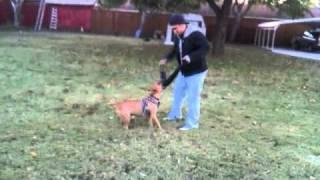 Bull Terrier Bite
