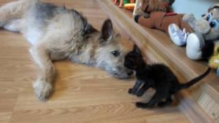 "Собака ""усыновила"" котёнка"