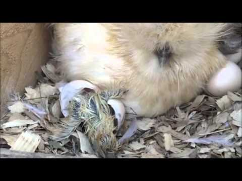 Fluffy Silkie Chicken hatching from the egg!