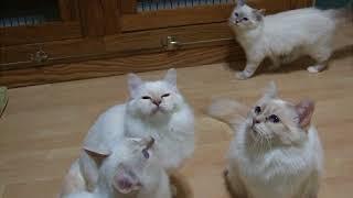 Zanadu Birmans' kittens playing