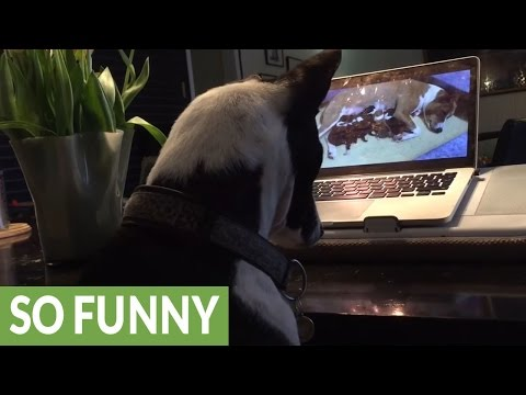 Dog fascinated by video of newborn puppies on laptop