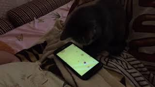 кот 2017 играет с  мышкой на телефоне,видео игра для котов смешное очень