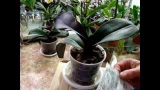 Болезни орхидей - 1. Орхидеи - Фалинопсис, Ванда, Мильтония, Дендробиум, Камбрия, Цимбидиум.(Болезни орхидей - 1. Орхидеи - Фалинопсис, Ванда, Мильтония, Дендробиум, Камбрия, Цимбидиум, Пафиопедилум..., 2015-04-29T14:50:51.000Z)